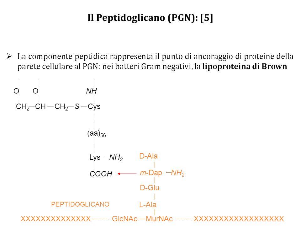 Il Peptidoglicano (PGN): [5]